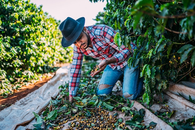 Латинский мужчина собирает кофейные зерна в солнечный день. кофейный фермер собирает кофейные ягоды. бразилия