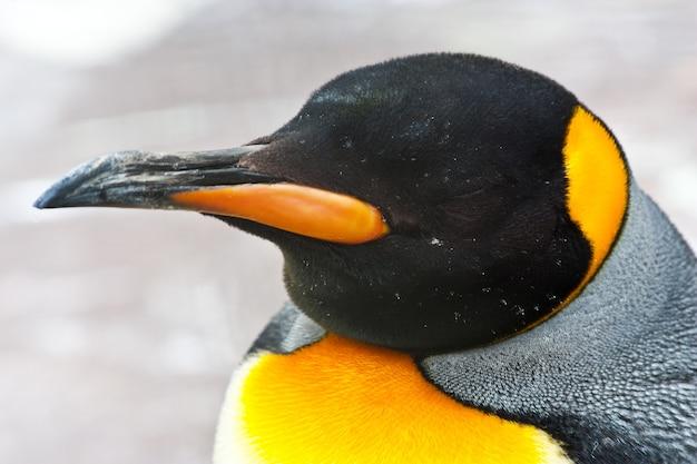 Latin name  aptenodytes patagonica, tipical of falkland islands