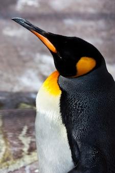 Латинское название aptenodytes patagonica, типичное для фолклендских островов