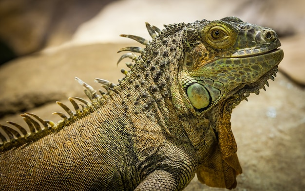 라틴어 이름: 이구아나 이구아나. 크기 합계 150cm