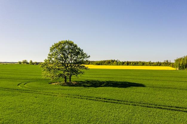 Латвийский сельский пейзаж с одиноким деревом посреди зеленого сельскохозяйственного поля в солнечный день