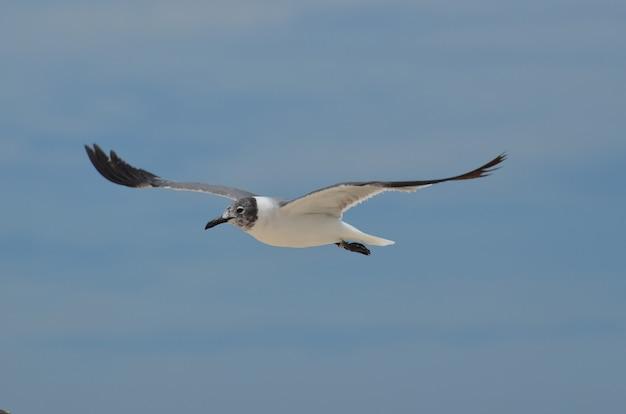 Смеющаяся чайка летит с распростертыми крыльями в небе
