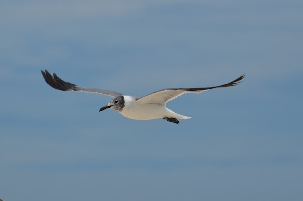 Laughing gull flying with wings extended in the sky