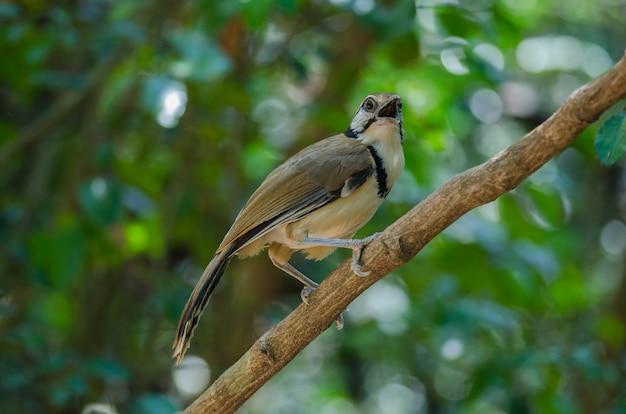自然の中で枝に大きいネックレスlaughingthrush