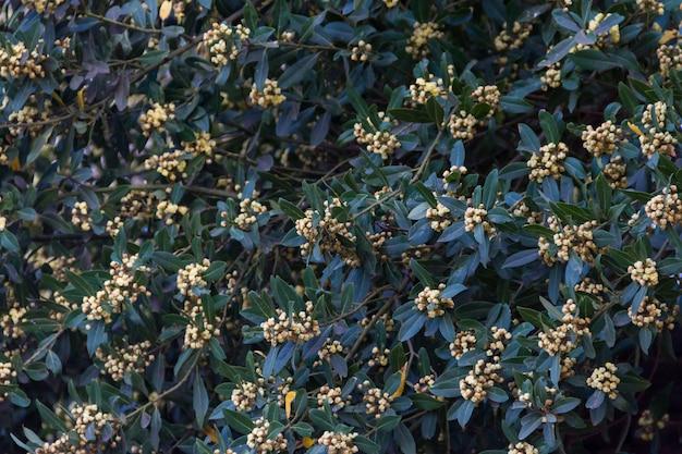 The laurel flowered in spring in the organic garden
