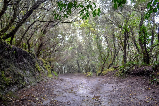 Laurel forests on the volcanic island of tenerife in rainy weather.