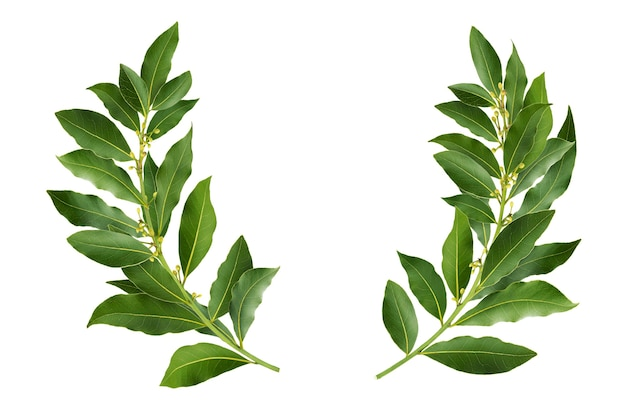 Laurel wreath made of fresh bay leaf branches, isolated on white background with clipping path
