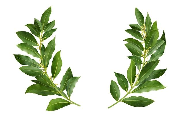 Лавровый венок из свежих веток лаврового листа, изолированные на белом фоне с обтравочным контуром