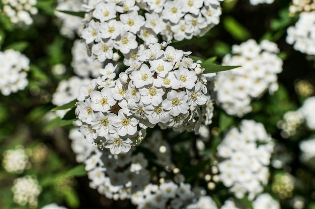 Laurustinus or laurestine little white flowers in bloom
