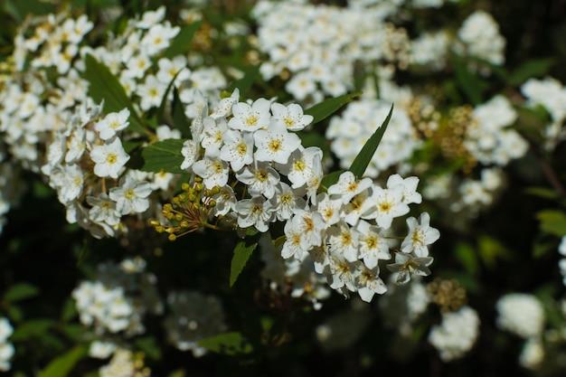 春に小さな白い花を持つ常緑の低木。 laurustinusまたはガマズミ属の木の枝の植物の背景。
