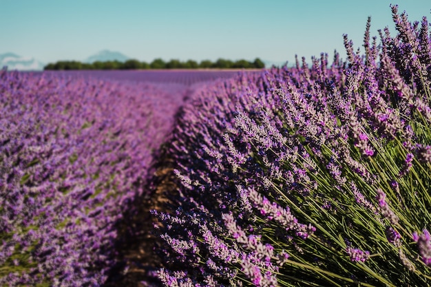 Lavander fields on a mountain and forest background in provence france