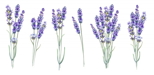 Lavandula aromatic herbal flowers.