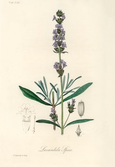 Лаванда (lavandula ipica) иллюстрация из медицинской ботаники (1836)