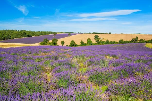 フランス、プロヴァンスのラベンダーと木と小麦畑