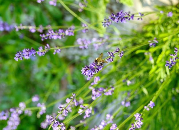 ラベンダーの茂みのクローズアップ。ぼやけたシャープなラベンダーの花の画像。