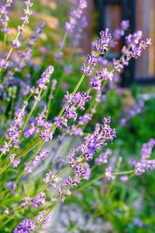 ラベンダーの茂みのクローズアップぼやけた鋭いラベンダーの花の画像