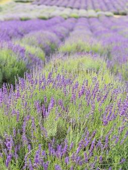 Кусты лаванды крупным планом, французская лаванда в саду, мягкий световой эффект