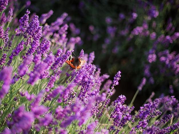 Крупный план кустов лаванды на закате. закат мерцает над пурпурными цветами лаванды.
