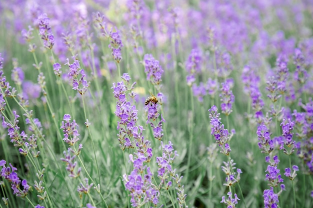 Lavender bushes flower field background. harvesting of lavender flowers in lavender fields in provence region of france. violet flower lavand with a bee. closeup selective focus.