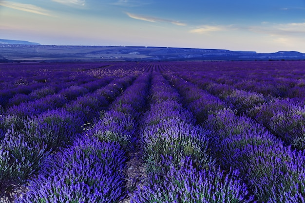 Lavender field after sunset. great summer landscape.
