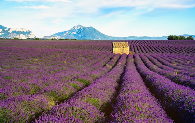 Lavender field in bloom at sunset with a house on the centered skyline  valensole provence france
