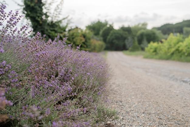 田舎道のラベンダー畑