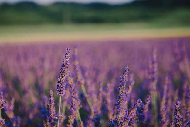 Lavender field close up copy space