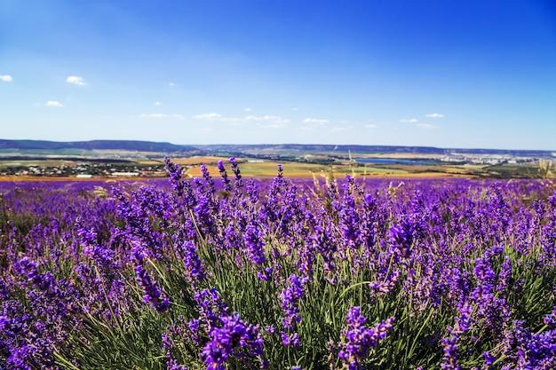 Lavender field in the crimea. magnificent summer landscape.