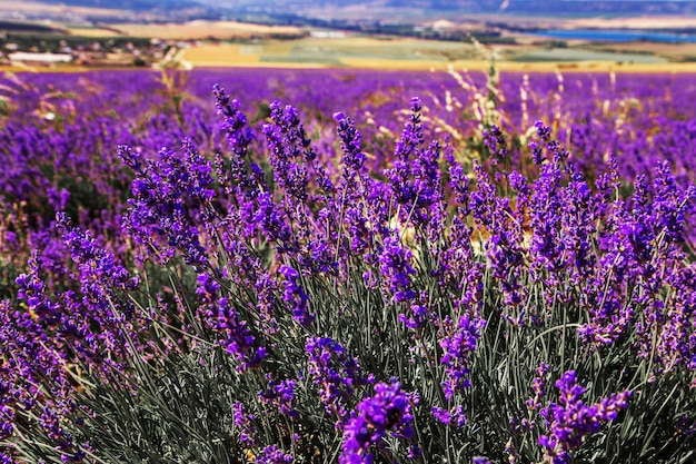 Lavender field in the crimea. magnificent summer landscape.