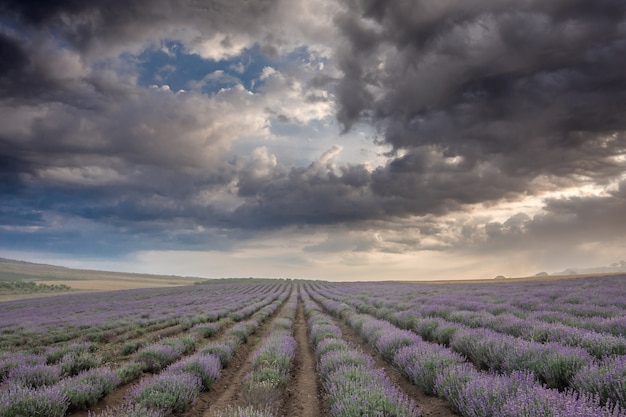 Lavender field and dramatic sky at sunrise