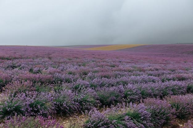 Поле лаванды в пасмурную погоду. цветочный фиолетовый фон