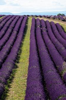 ヨーロッパのラベンダー畑フランスプロヴァンスヴァロンソル夏季とフレグランス香水生産