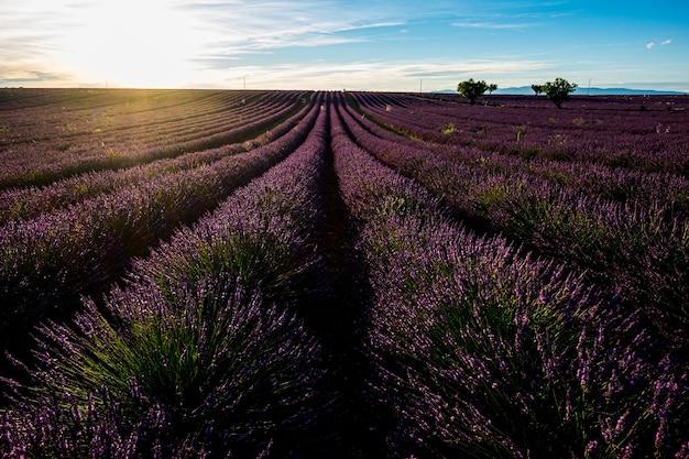 フランスのラベンダー畑、プロヴァンスのヴァロンソル。ラベンダーの花と美しい自然の屋外の風景