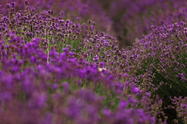 フランス、プロヴァンスのラベンダー畑。咲くバイオレットの香りの良いラベンダーの花。収穫。