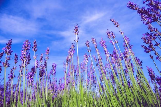 Лавандовое поле летом