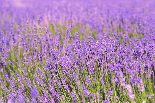 여름에 라벤더 밭