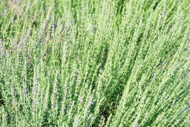 여름 근접 촬영에 꽃의 라벤더 밭