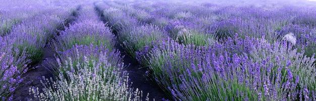 Поле лаванды, панорама. естественный абстрактный фон цветы лаванды.
