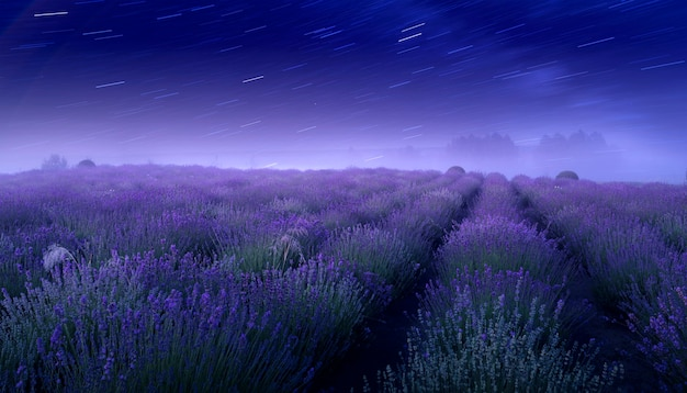 Lavender field and starry sky. wonderful summer night landscape, with a flowering field and the milky way.