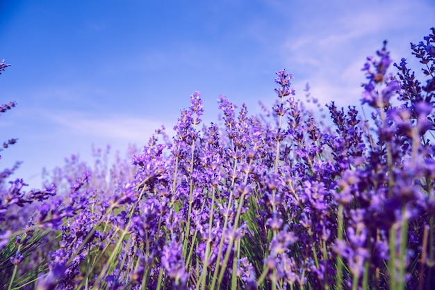 Lavender field in the summer background