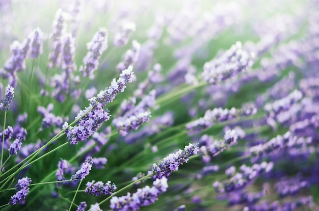 Lavender field in sunlight with copy space.