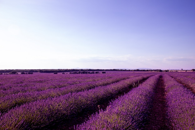 Lavender field on a sunny day