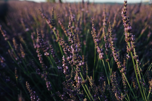 Lavender field on a sunset background