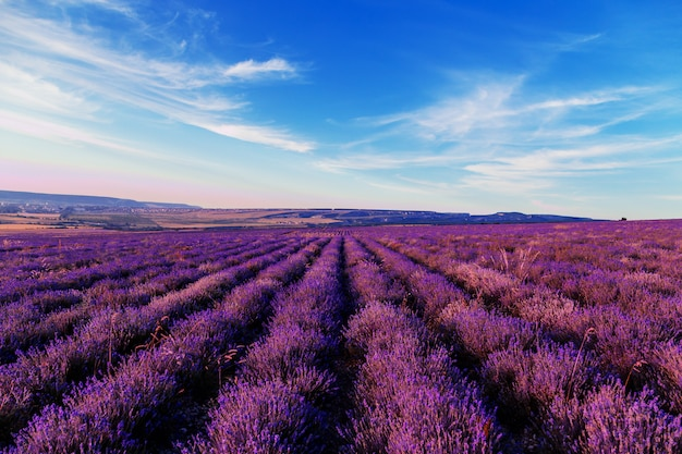Lavender field at sunset. great summer landscape.