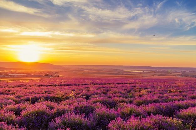 Lavender field at sunset landscape
