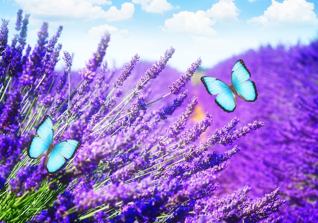 Lavender field with bright summer blue sky with butterflies close up, france