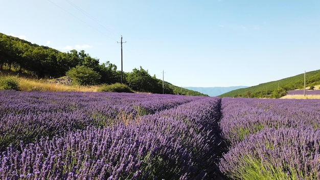 Lavender field with summer blue sky