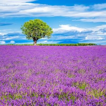 프랑스에서 나무와 라벤더 밭