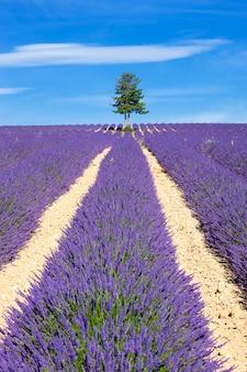 フランス、プロヴァンスのツリーとラベンダー畑