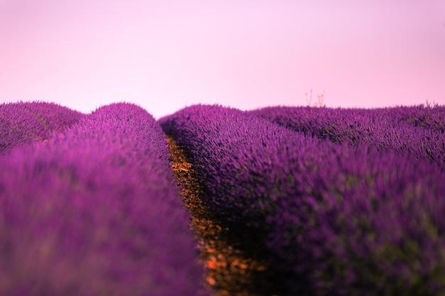 Lavender fields in brihuega, guadalajara, spain.